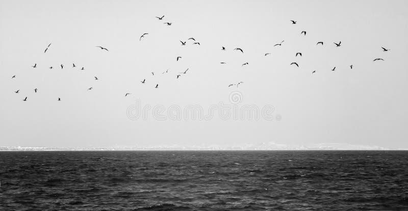 Troep van zeemeeuwen die over het overzees in zwart-wit vliegen stock afbeelding