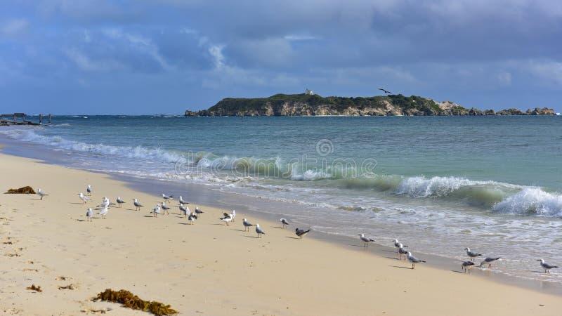 Troep van zeemeeuwen langs de kust van Hamelin-Baai royalty-vrije stock fotografie