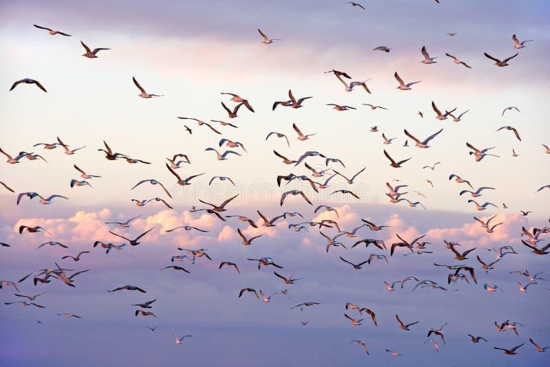 Troep van zeemeeuwen in zonsonderganghemel stock afbeeldingen