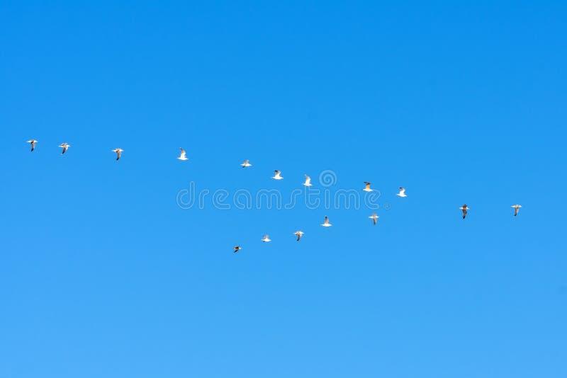 Troep van zeemeeuwenvliegen in een wig in de blauwe hemel royalty-vrije stock afbeelding