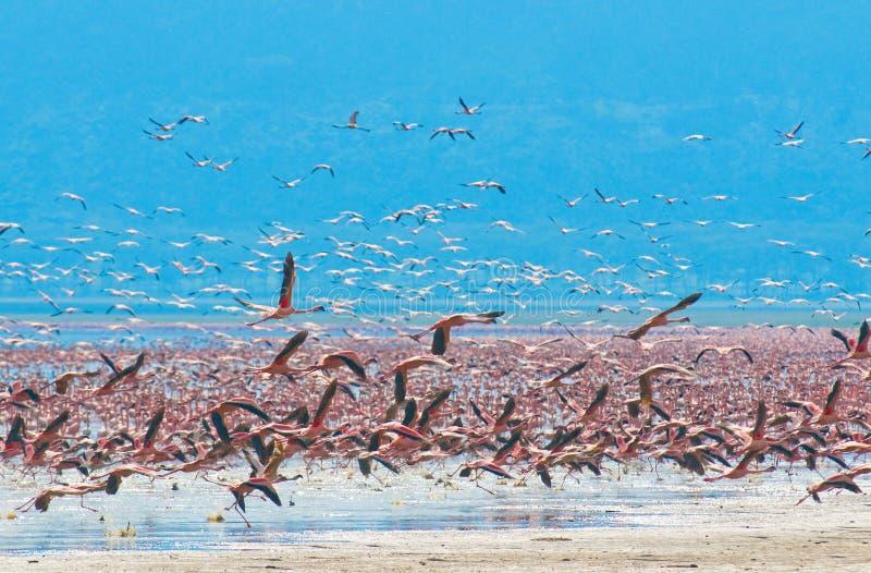 Troepen van flamingo stock afbeeldingen