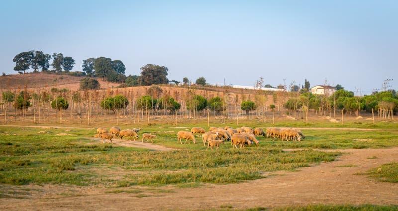 Troepen van schapen in Turkije stock afbeelding