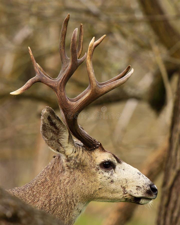 Trofé Svart-tailed hjortbock fotografering för bildbyråer