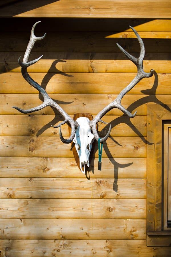 Troféu da parte de vencimento na parede - chifres grandes dos cervos com medalha imagem de stock