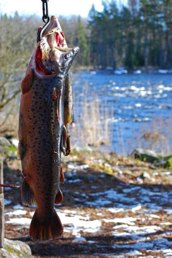 Troféu da truta Salmon fotografia de stock