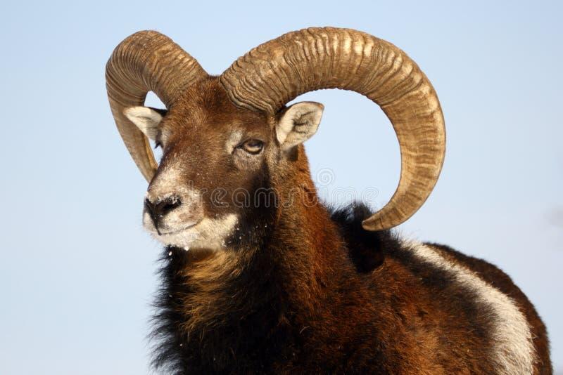 Troféu de Mouflon fotografia de stock royalty free