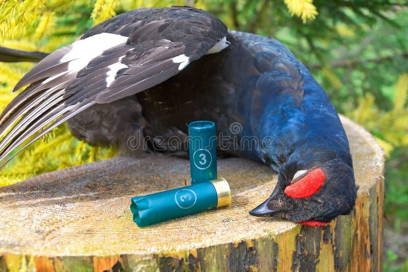 Trofeo de la caza. el primer y la munición del urogallo negro para HU imagen de archivo libre de regalías