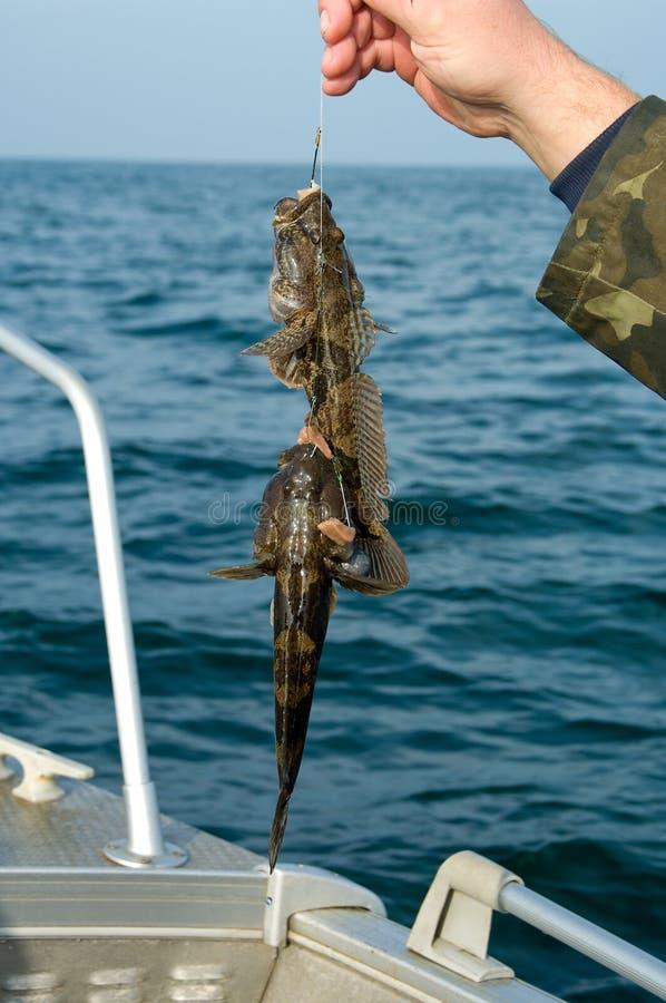 Trofeo marino de la pesca en mar del gobio imagen de archivo libre de regalías
