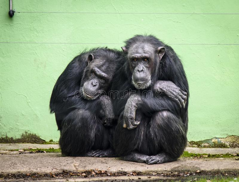 Trogloditas comuns da bandeja do chimpanzé no JARDIM ZOOLÓGICO em Pilsen, Checo Repiblic fotografia de stock