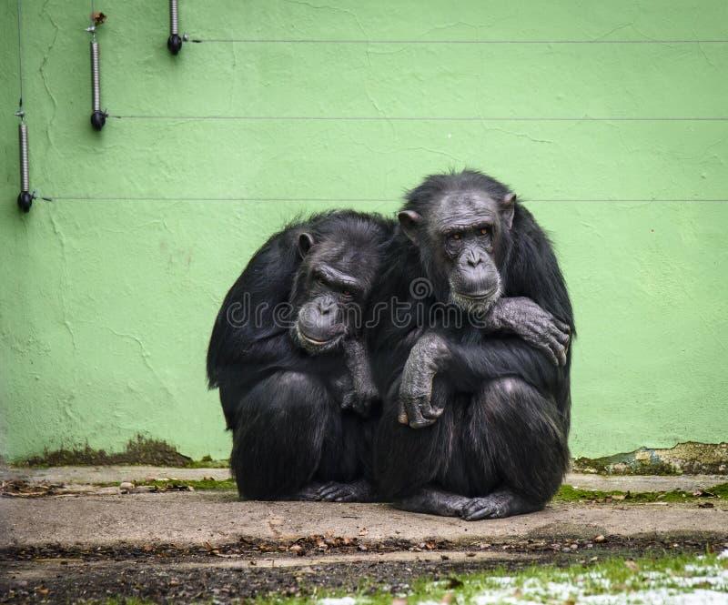 Trogloditas comuns da bandeja do chimpanzé no JARDIM ZOOLÓGICO em Pilsen, Checo Repiblic fotos de stock
