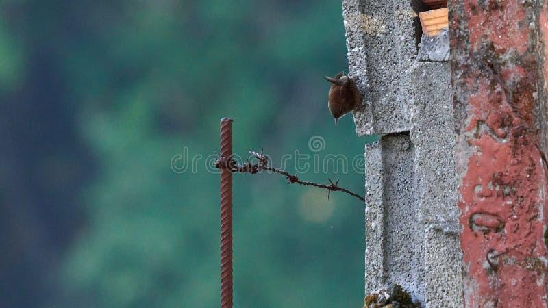Troglodytes troglodytes de Wren photo stock