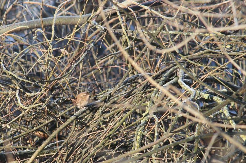 Troglodytes eurasiens de troglodytes de roitelet s'asseyant sur la branche en hiver image libre de droits