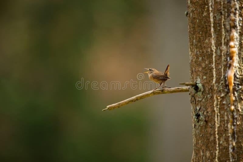 Troglodytes troglodytes Natureza selvagem foto de stock royalty free