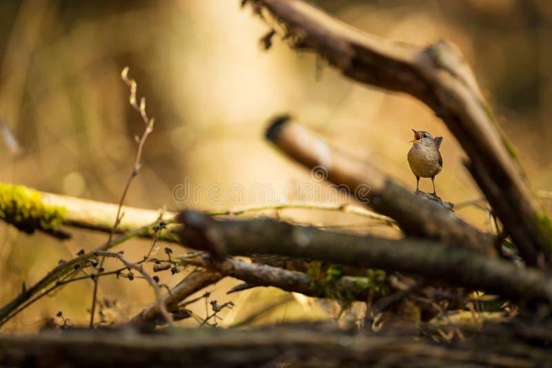 Troglodytes troglodytes Natureza selvagem foto de stock
