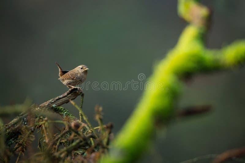 Troglodytes troglodytes Natureza selvagem Da vida das aves fotografia de stock royalty free