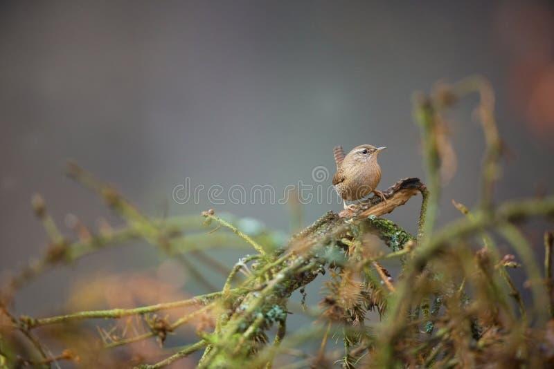 Troglodytes troglodytes Natureza selvagem Da vida das aves foto de stock