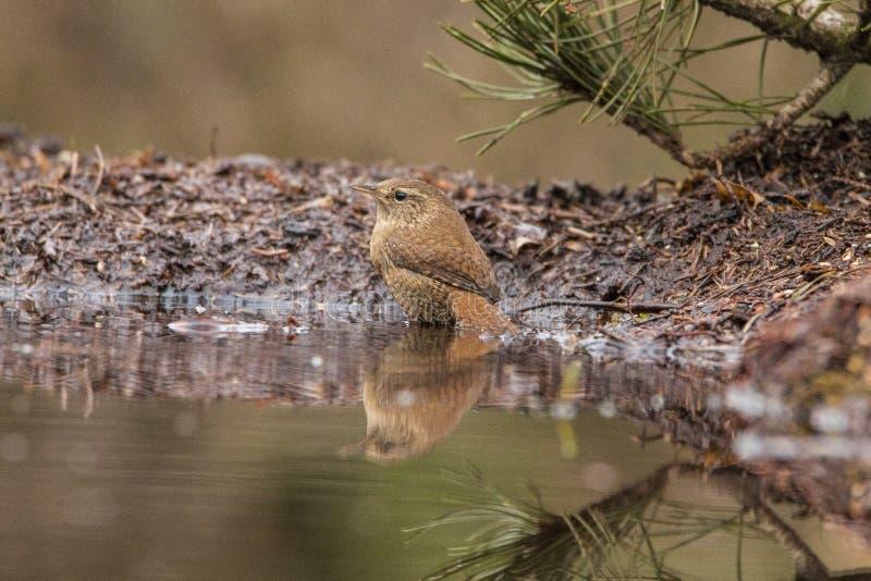 Wren, Troglodytes troglodytes, small songbird. Troglodytes troglodytes, the Wren is a very small brown songbird, seen in gardens and parks stock photography