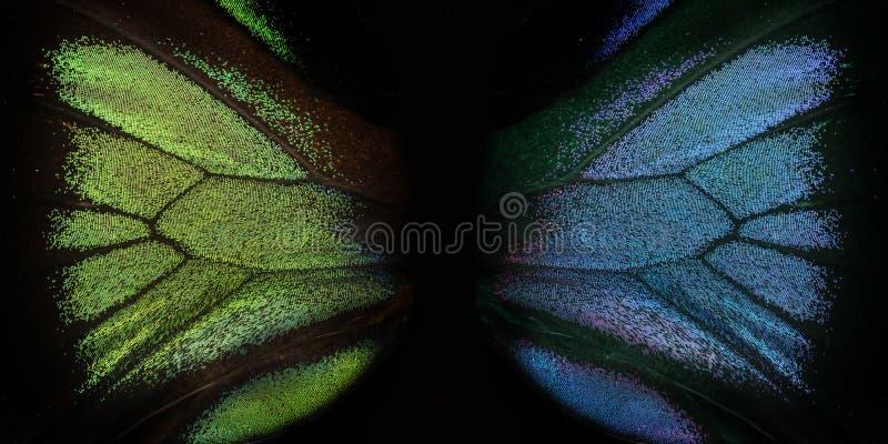 Trogonoptera brookiana - Rajah Brooke Birdwings- tropical buttelfly. Detail stock photography