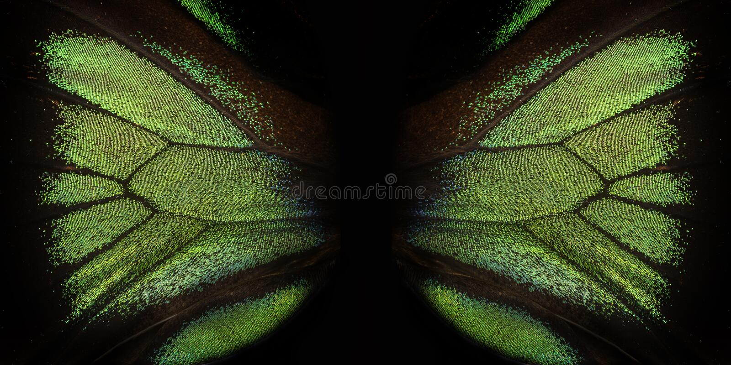 Trogonoptera brookiana - Rajah Brooke Birdwings- tropical buttelfly. Detail royalty free stock photography