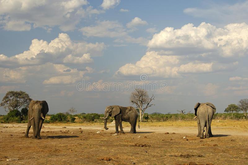 Trois éléphants africains, Botswana image libre de droits