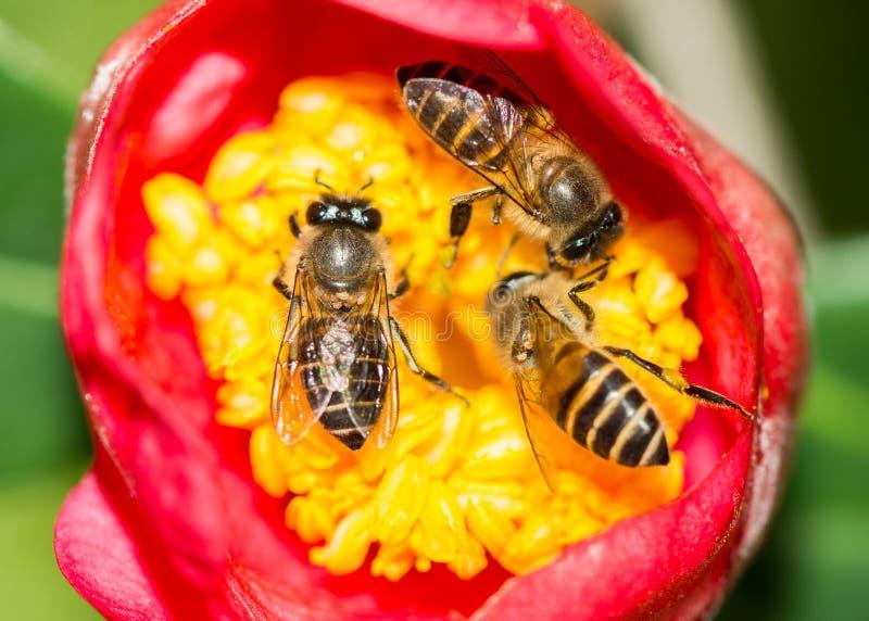 Trois abeilles rassemblant des pollens ensemble photographie stock libre de droits
