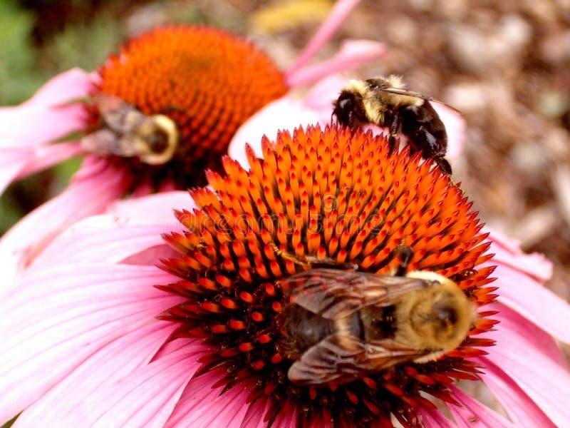 Trois abeilles sur les fleurs lumineuses photo libre de droits