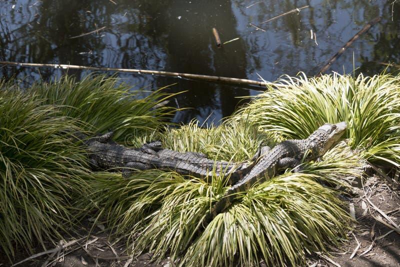 Trois alligators sur l'herbe photo libre de droits