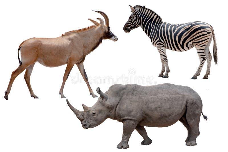 Trois animaux sauvages africains - antilope, zèbre et rhinocéros, d'isolement sur le blanc images stock