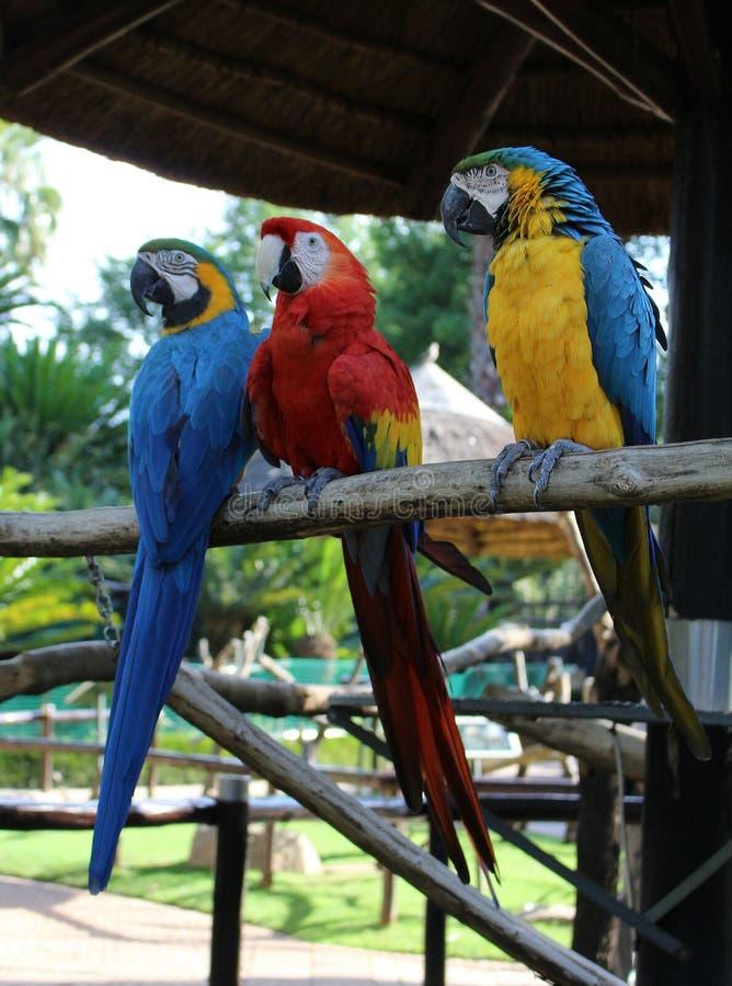 Trois aras au parc d'oiseau de Monte Casino, Afrique du Sud photos stock