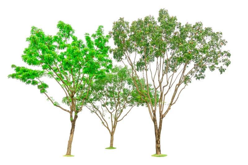 Trois arbres d'isolement, groupe de large acajou de feuille, connu sous le nom d'acajou faux, le Honduras, grande feuille, une us image stock
