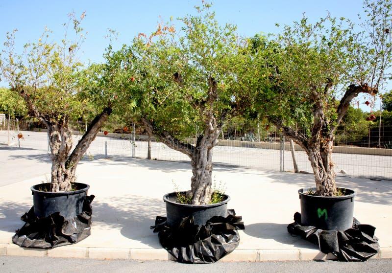 Trois arbres de grenade image libre de droits