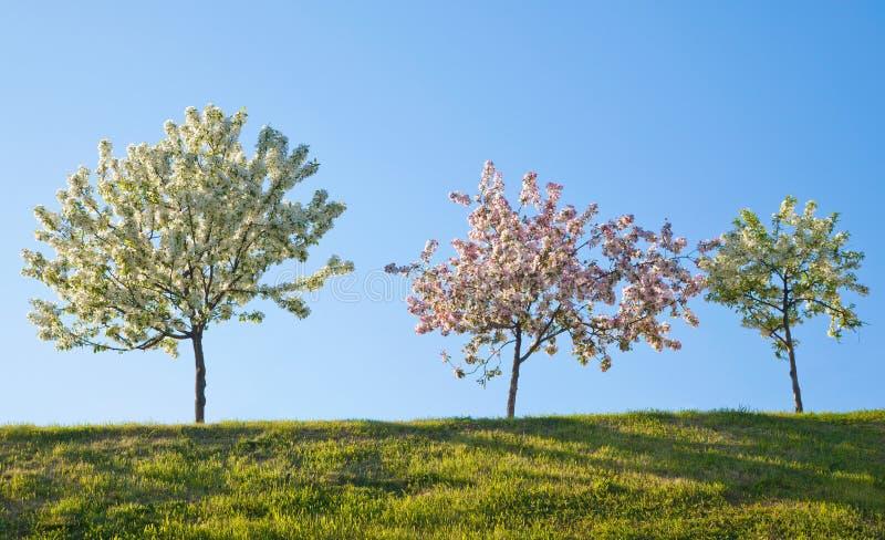 Trois arbres fleurissants contre le ciel bleu image stock