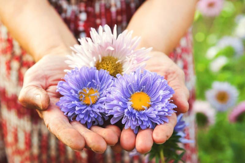 Trois asters d'automne dans les personnes âgées ont ridé des mains d'une grand-mère ou d'un grand-père Asters bleus et roses photos stock