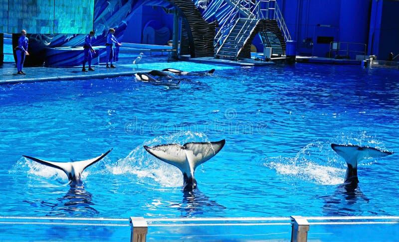 Trois baleines d'orque ondulant leurs queues pour des visiteurs photos libres de droits