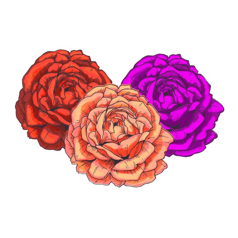 Trois beaux bourgeon floraux roses d'isolement sur le fond blanc Vecteur tiré par la main Collection florale de nature illustration stock