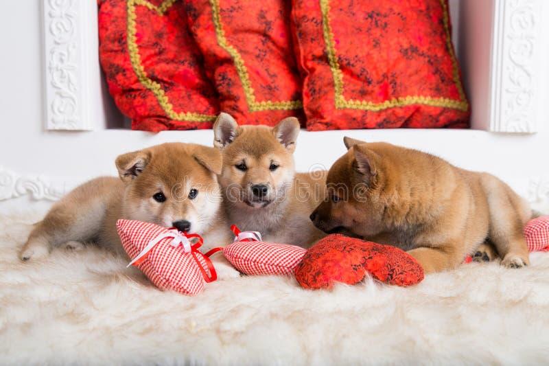 Trois beaux chiots d'inu de shiba se trouvent ensemble sur le plancher avec les coeurs rouges images stock