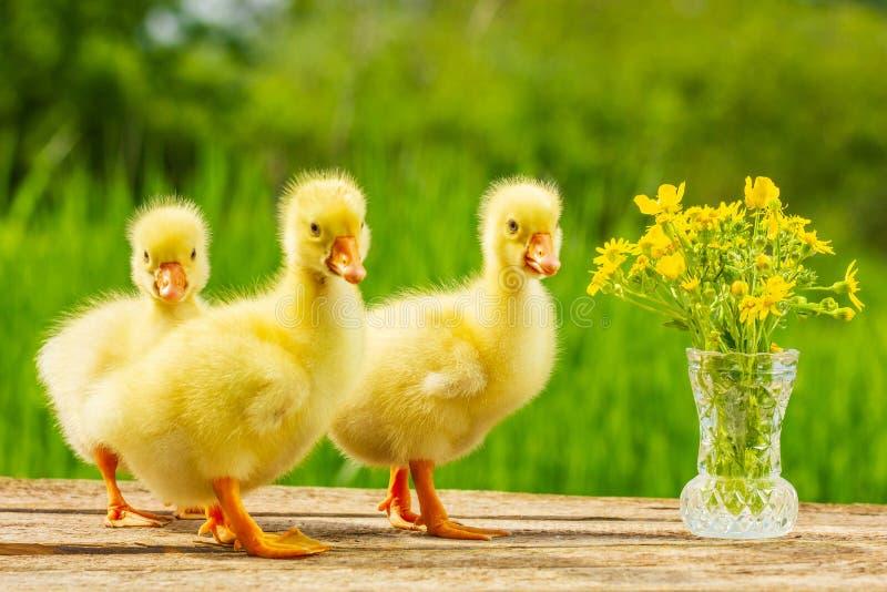Trois beaux mignons peu d'oie sur le fond de nature photos stock