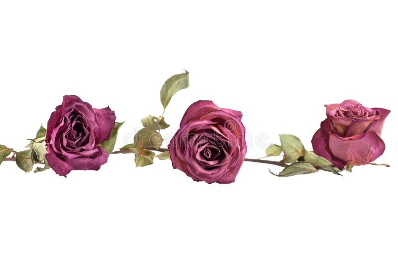 Trois belles fleurs de roses de Bourgogne de longue tige et feuilles vertes sur le plan rapproché d'isolement par fond blanc photos stock