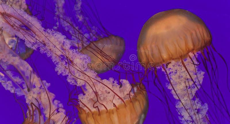 Trois belles méduses mortelles en mer photo stock