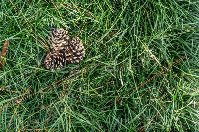 Trois boules de pin sur l'herbe verte images libres de droits