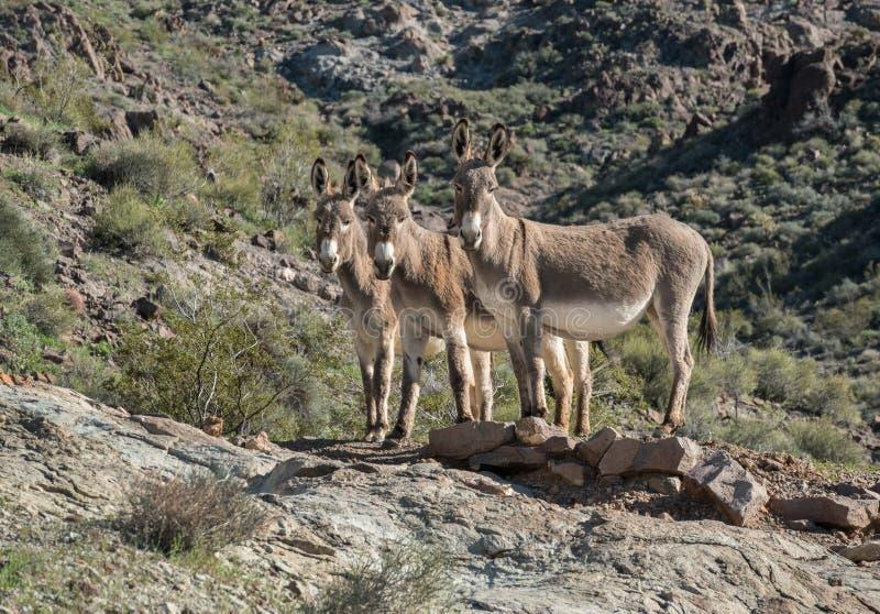 Trois Burros sauvages en dehors d'Oatman, Arizona photo stock