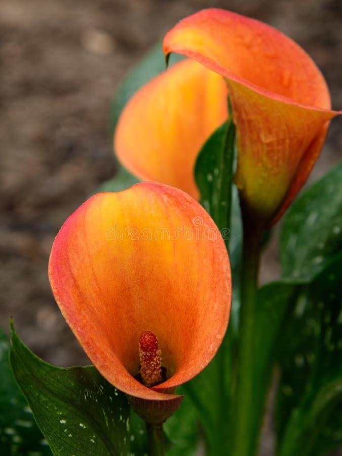 Trois Callie Lillys orange image libre de droits