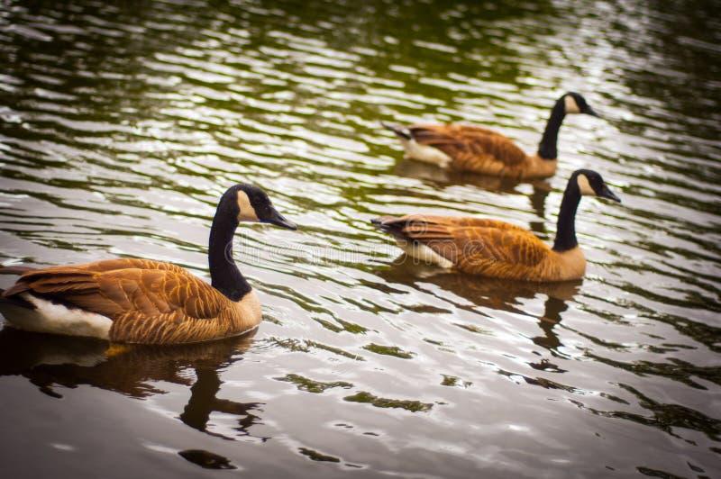 Trois canards photographie stock