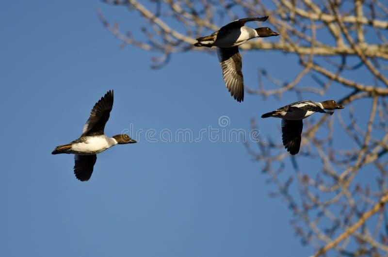 Trois canards communs de Goldeneye volant après un arbre d'hiver photographie stock