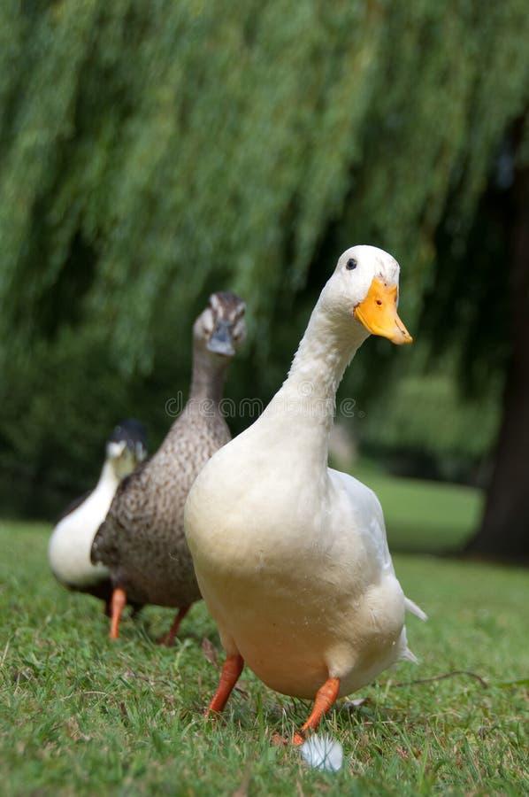 Trois canards dans une ligne images libres de droits