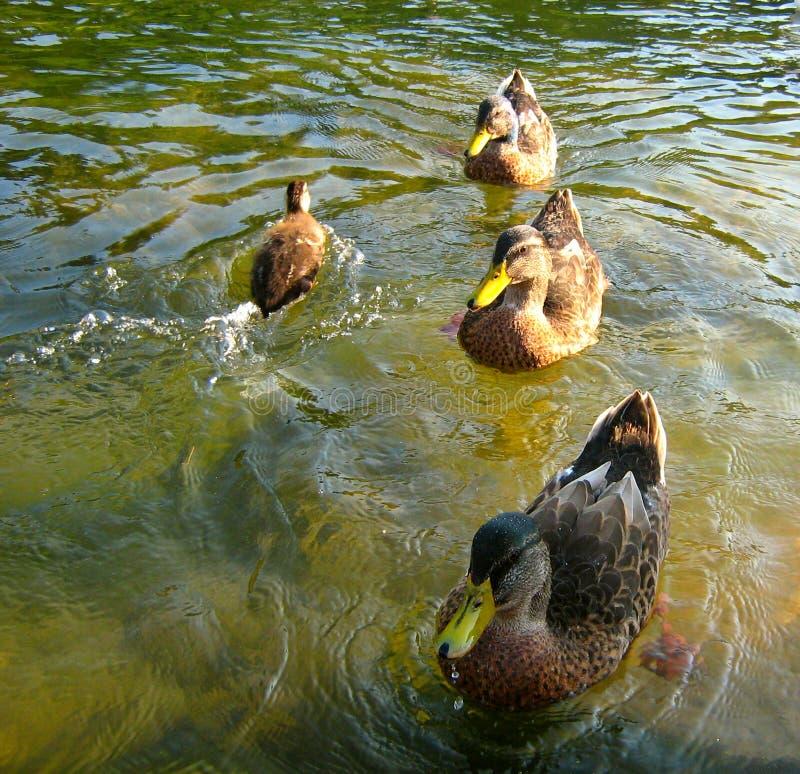 Trois canards et petits image libre de droits