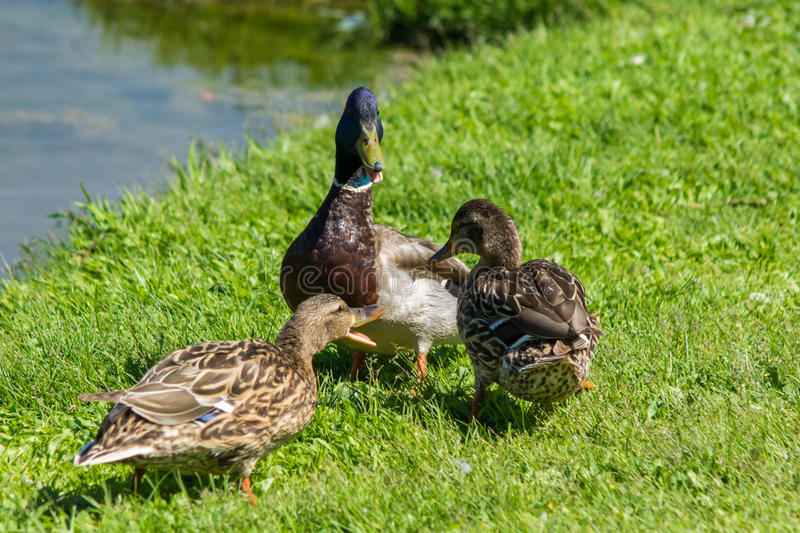 Trois canards sauvages image stock