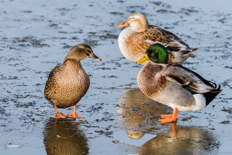 Trois canards se tenant sur un étang congelé photos libres de droits