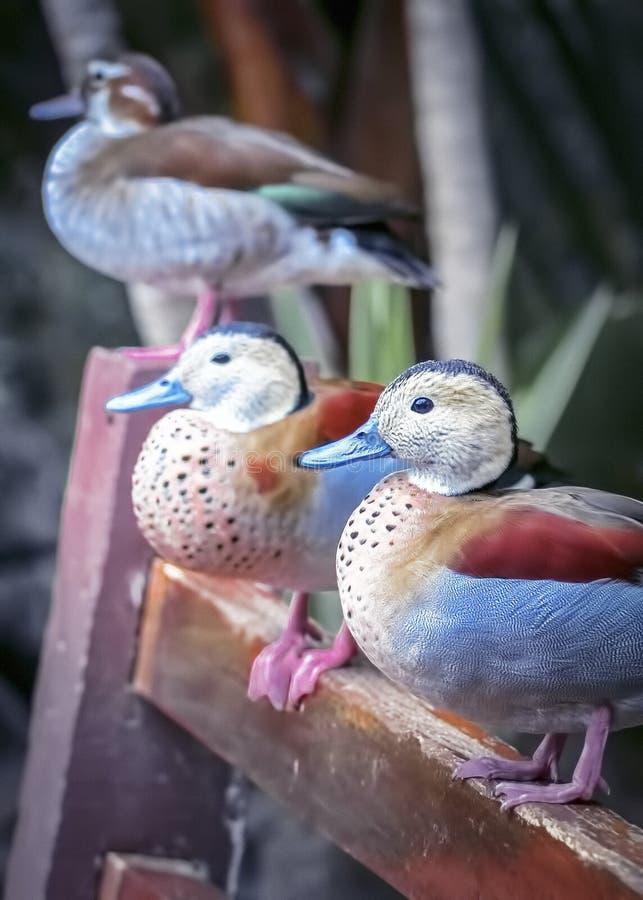 Trois canards stting sur le banc images stock