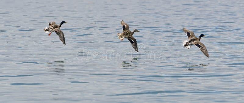 Trois canards volant sur le lac photo stock